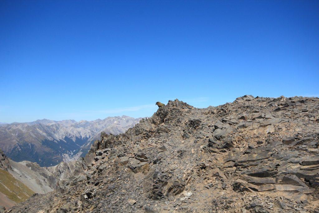 Le cadeau à l'arrivée : un kea au sommet d'Avalalanche Peak
