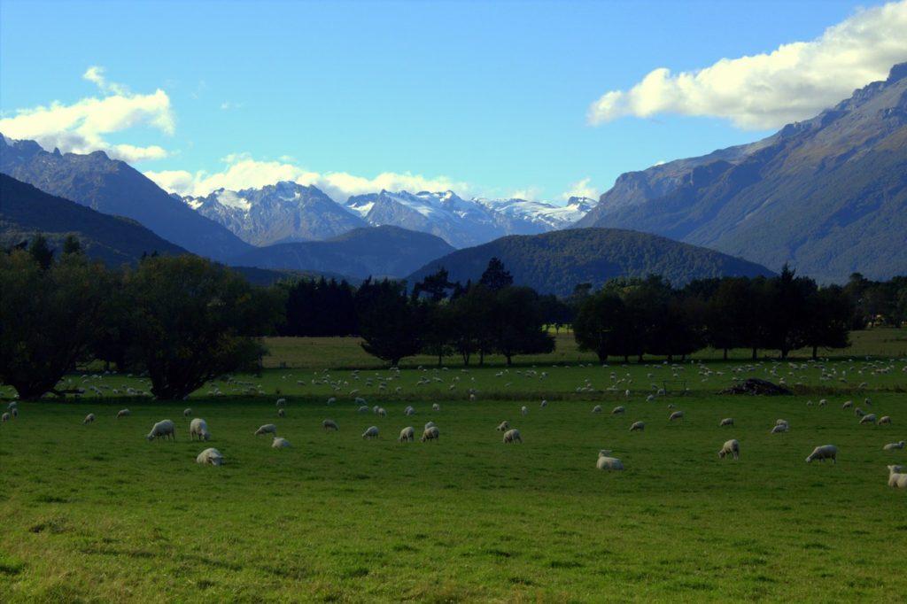 Au milieu de nul part, un champ de moutons et des glaciers