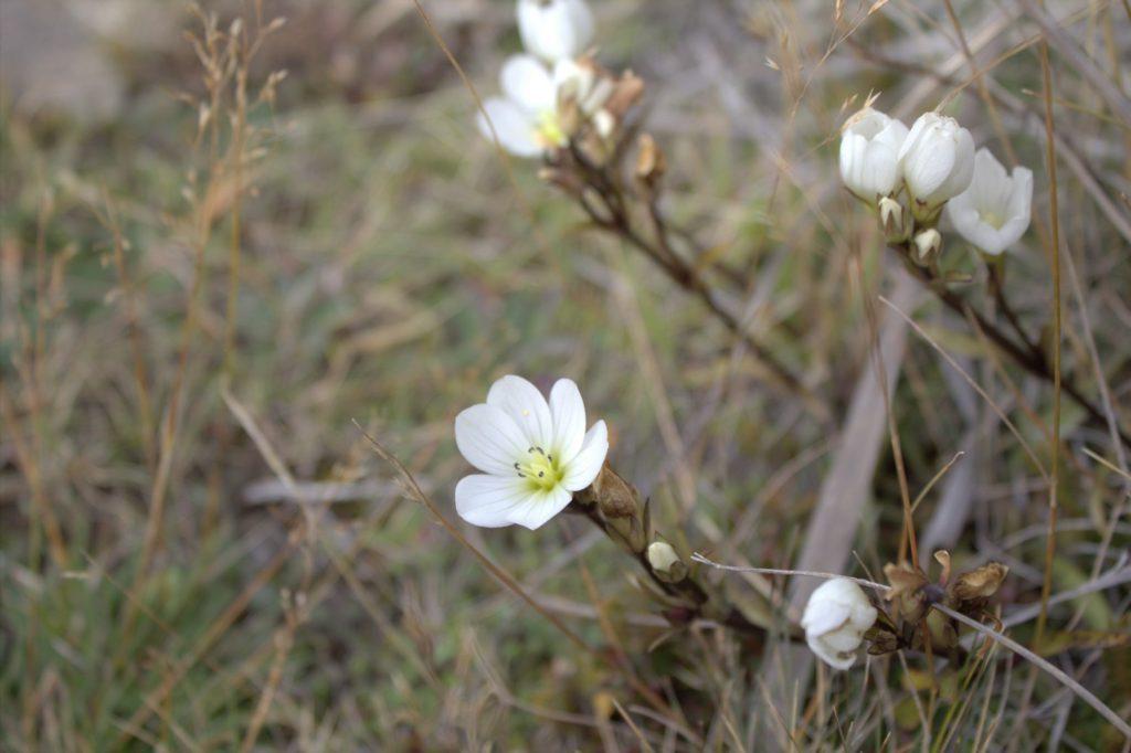 J'ai cru que c'était des edelweiss, après vérification, ce sont en fait des gentianes blanches