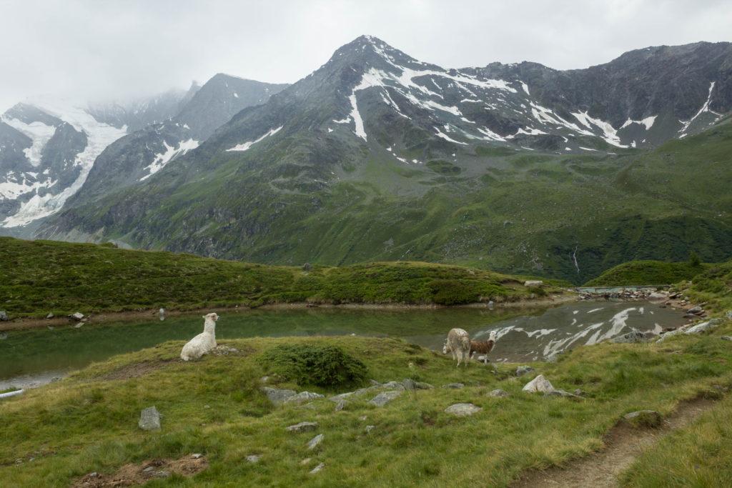 Les lamas, ça ne fait pas très suisse